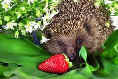 开花通配猬成熟的草莓 库存图片