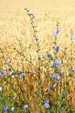 开花通配的麦子 免版税库存照片