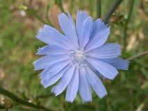 开花通配蓝色苦苣生茯的花 免版税库存照片
