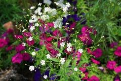 开花通配 在前景的许多小白花反对紫色大花背景  免版税库存照片