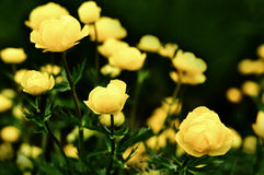 开花通配黄色 库存图片