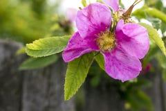 开花野玫瑰果的花,软的bokeh背景 图库摄影