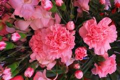 开花顶视图五颜六色的桃红色康乃馨的花和背景的芽纹理 库存照片