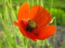 开花鸦片,春天,猩红色,开花,特写镜头 免版税库存照片