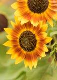 开花黄色和橙色向日葵在秋天 免版税库存照片