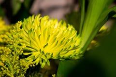 开花黄色花在黑暗的背景中 库存图片