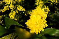 开花黄色花在黑暗的背景中 库存照片