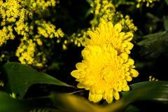 开花黄色花在黑暗的背景中 免版税库存图片