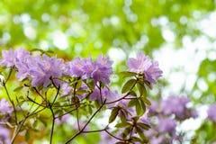 开花,优美的紫色 库存图片