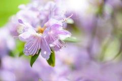 开花,优美的紫色 免版税库存照片