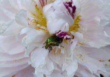 开花,变粉红色,自然,花,紫色,庭院,菊花,植物,宏指令,花卉,开花,春天,丁香,瓣,白色,绽放, b 图库摄影