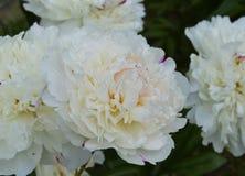开花,变粉红色,自然,花,紫色,庭院,菊花,植物,宏指令,花卉,开花,春天,丁香,瓣,白色,绽放, b 免版税库存照片