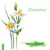 水仙开花,在白色背景隔绝的水彩例证,导航手拉的例证,花卉设计 库存图片