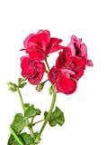 开花,天竺葵接近被隔绝的深红大竺葵 免版税库存图片