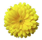 开花,开花染黄的金盏草,与露水,白色与裁减路线的被隔绝的背景 库存照片