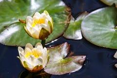 开花,浪端的白色泡沫百合在池塘 免版税图库摄影