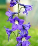 开花,紫色,自然,蓝色,花,虹膜,植物,紫罗兰,春天,庭院,植物群,绿色,夏天,开花,宏指令,瓣,绽放,是 免版税图库摄影