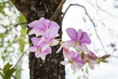 开花(兰科,兰花花)紫色白色 库存图片