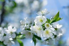 开花-开花的樱桃树,美好的自然在春天 免版税图库摄影
