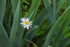 开花 春黄菊 开花的春黄菊开花与水特写镜头下落  库存照片