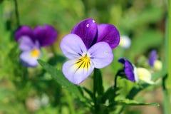开花紫罗兰 库存照片