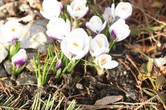 开花紫色和白色春天花 免版税图库摄影