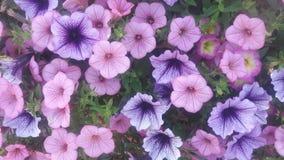 开花紫色墙纸 免版税库存照片