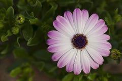 开花紫色托斯卡纳 免版税库存照片