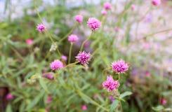 开花紫色草花在庭院里 库存图片