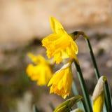 开花黄色黄水仙复活节水仙的花,石墙Ba 免版税库存照片