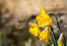开花黄色黄水仙复活节水仙的花,石墙Ba 库存图片