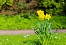 开花黄色黄水仙复活节水仙的花,绿色Backgro 库存图片