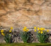 开花黄色黄水仙水仙的花,石墙Backgroun 库存照片