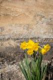 开花黄色黄水仙水仙的花,石墙Backgroun 免版税库存图片