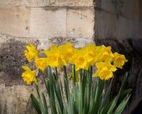 开花黄色黄水仙水仙的花,石墙Backgroun 库存图片
