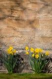 开花黄色黄水仙水仙的花,石墙Backgroun 免版税库存照片