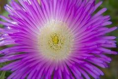 开花紫色 图库摄影