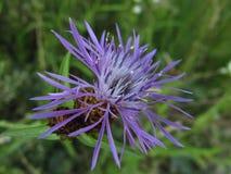 开花紫色 库存图片