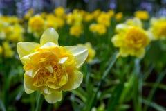 开花黄色黄水仙& x28; Narcissus& x29;在春天有n的庭院 免版税库存照片