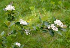 开花aroniya山脉灰黑结了果实Aronia melanocarpa Michx elliott 免版税库存图片