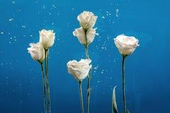 开花chry水下落泡影蓝色背景白色玫瑰的翠菊 免版税库存照片