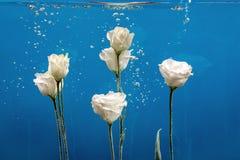 开花chry水下落泡影蓝色背景白色玫瑰的翠菊 库存图片