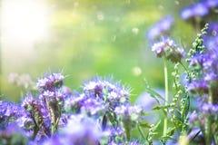 开花feelds紫色在太阳天 库存图片