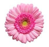 开花gerber粉红色 图库摄影
