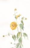 开花laciniata绘画黄金菊水彩 库存照片