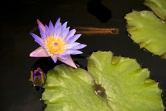 开花lilly填充 免版税库存照片