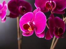 开花orchidea自然植物学绽放 免版税库存图片