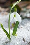 开花snowdrop弹簧 库存图片