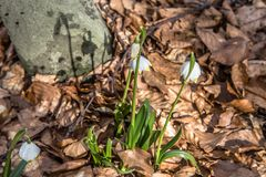 开花springflower在春天在早期的春天,萌芽第一从雪,乌克兰喀尔巴汗下面绿化 库存图片