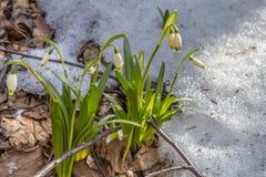开花springflower在春天在早期的春天,萌芽第一从雪,乌克兰,喀尔巴汗下面绿化 库存图片